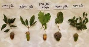 בלוטים, זיהוי אלונים, עצי אלון, השוואת עצי אלון,