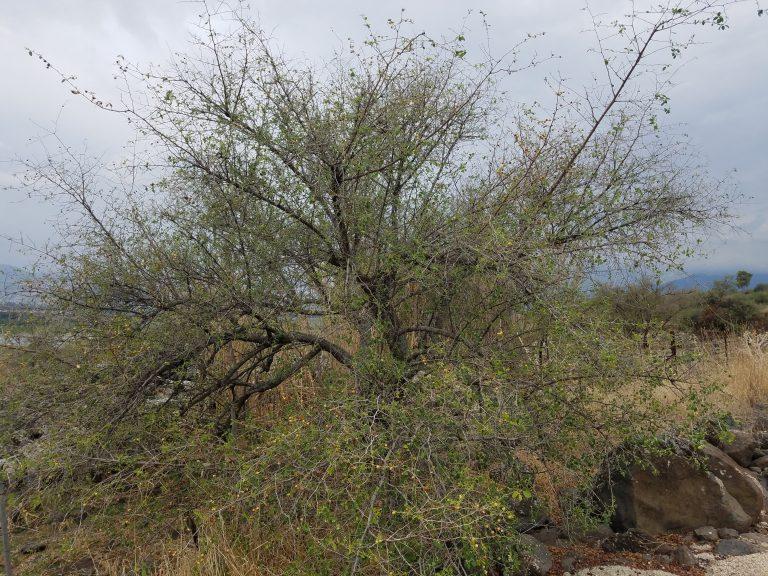עץ דומים, שיזף מצוי, יהושוע הפרוע