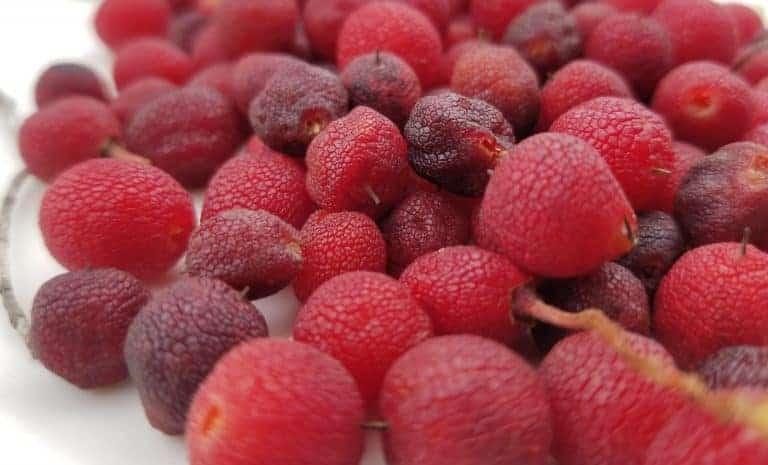 פירות קטלב, קטל אב, עץ אדום, משפחת האברשיים, צימוקי קטלב, ליקר קטלב, ברנדי קטלב, עץ התות המזרחי