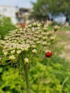 גזר קיפח, גזר בר, פרחי גזר, תפרחת לבנה עם זבוב, בטא קרוטן, פרחי גזר מוקפצים. משפחת הסוככים.