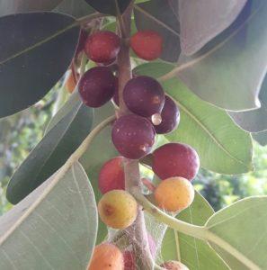 פיקוס, עץ פיקוס, פירות עץ פיקוס, פיקוס חלוד, פיקוס שדרות,